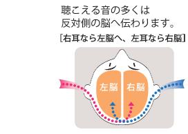 聴こえる音の多くは反対側の脳へ伝わります。[右耳なら左脳へ、左耳なら右脳]